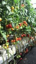 牛番茄1_20160511